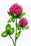 Zeichnung von Kleeblumen Stockfotografie