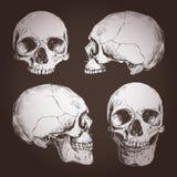 Zeichnung von menschlichen Schädeln von den verschiedenen Winkeln auf Tafel Stockbild