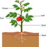 Zeigen der Teile einer Tomatenpflanze Stockfotos