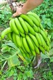 Zeigen einer Bananenernte lizenzfreie stockfotos