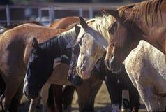 Zeigen Sie Pferde im Stift bei Santa Barbara Old Spanish Days Fiesta, Earl Waren Showgrounds, CA Stockfotografie