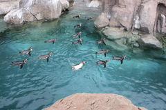 Zeigen Sie Pinguine Lizenzfreies Stockbild