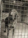 Zeigerhund lizenzfreies stockfoto