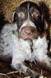 Zeigerhund, der auf Heu in der Scheune liegt lizenzfreie stockfotografie