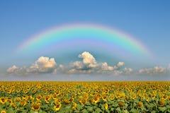 Ein Feld der Sonnenblumen Lizenzfreies Stockfoto