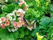 Zeilboot Beleefde Latijnse Papilio Polytes De draagwijdte is 8-10 cm De vlinder leeft in de vochtige tropische bossen van Zuid-Az stock foto's