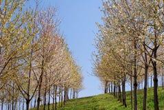 Zeile der blühenden Bäume des Frühjahrs Stockbilder