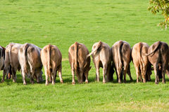 Zeile der Kuh-hinteren Enden stockfoto