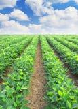 Zeilen von den landwirtschaftlichen Anlagen Lizenzfreie Stockfotos