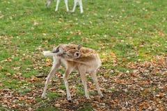 Zeist Utrecht holandie,/- Październik 21 2018: Młody jeleni sni fotografia royalty free