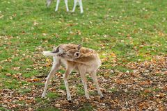 Zeist, Utrecht/The Netherlands - October 21 2018: Young deer sniffing its behind royalty free stock photography