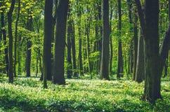 Zeit der Decidious-Waldnatur im Frühjahr Stockfoto
