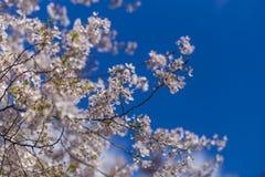 Zeit der Kirschblüte im Frühjahr Lizenzfreies Stockfoto