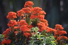 Zeit- frische Orange flower2 des Morgens Lizenzfreies Stockbild