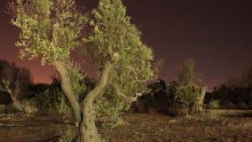Zeit-Schöße eines Olivenbaums stock video footage