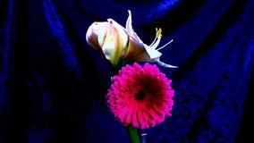Zeit-Versehen des Wachsens der roten rosafarbenen Blume stock video footage