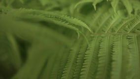 ZEITLUPE-ABSCHLUSS OBEN, DOF: Großer alter üppiger Farn, der in überwuchertem üppigem wildem Dschungel wächst Großes altes Märche stock video footage