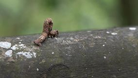 Zeitlupe brauner Geometridae Caterpillar, das in wilde Bäume des Berges kriecht stock video footage