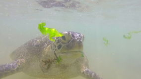 Zeitlupe der Schildkröte, die Meerespflanze vom lokalen Mann, zum von Touristen zu unterhalten eingezogen wird stock video