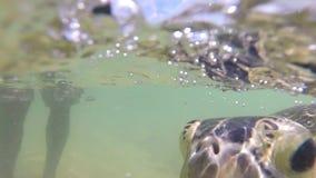 Zeitlupe der Schildkröte, die Meerespflanze vom lokalen Mann, zum von Touristen zu unterhalten eingezogen wird stock footage