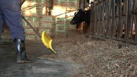 Zeitlupe des Milchbauern einen modernen Stall säubernd, während Kühe isst stock video footage