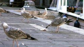 Zeitlupe des Seemöwenvogels isst einen Fischabfall nahe dem Wasserkanal Venedig stock video