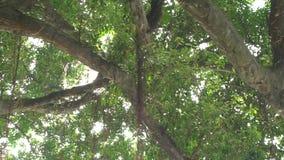 Zeitlupe des Sonnenlichts durch die Blätter des grünen Baums bei Sonnenuntergang in Taipeh-Dan stock footage