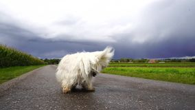 Zeitlupe eines kleinen weißen Hundes stock footage