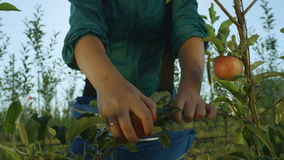 Zeitlupe-Frau hebt rote Äpfel vom Baumast auf stock footage