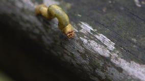 Zeitlupe grüner Geometridae Caterpillar, das in wilde Bäume des Berges kriecht stock footage