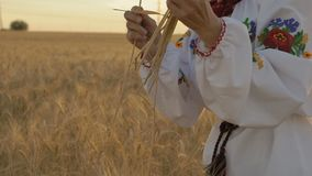 Zeitlupe, Nahaufnahme, Frau in nationales Kostüm-zerreißenden Weizen-Spitzen in der Hand auf dem Feld morgens stock video