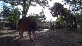 Zeitlupe und Fokus an Deutscher Shepard-Hund geht mit Kamera im Garten spielen stock footage