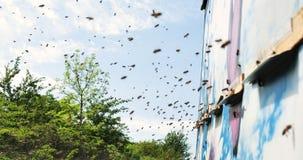 Zeitlupe von Honey Bee-Fliegen um Bienenstock mit unscharfem Hintergrund beekeeping stock video