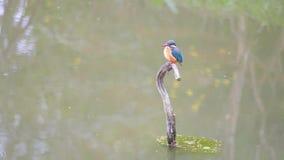 Zeitlupefilm der Szene, dass Vogel Eisvogel Alcedo atthis auf der Niederlassung in der Mitte von Teich und von Blick herum aufmer stock video