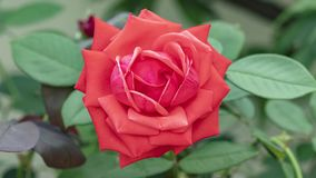 Zeitspanne der roten rosafarbenen wachsenden Blüte von der Hälfte zur großen Blume auf grünem Blatthintergrund im sonnigen Garten stock footage