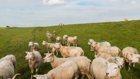 Zeitspanne Schafe auf Graben stock video footage