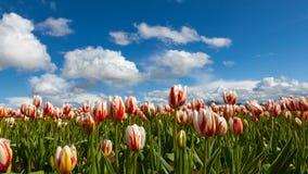 Zeitspanne von weißen Wolken und von blauem Himmel über Tulpe fieldl in Woodburn ODER im uhd 4k stock video