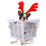 Zeitung der französischen Bulldogge Lese Stockfoto