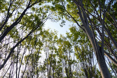 Zelcova Trees. In Japan, Zelkova trees are common in streets and parks Royalty Free Stock Images
