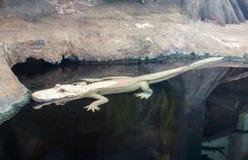 Zeldzaam Albino Alligator bij het Noorden Carolina Aquarium royalty-vrije stock foto's