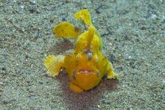 Zeldzame baby gele frogfish van Aalmoezenier Burgos, Leyte, Filippijnen stock foto's