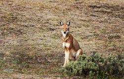 Zeldzame en bedreigde Ethiopische wolfszitting in Baalbergen, Ethiopië stock foto