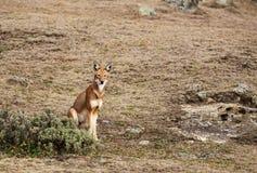 Zeldzame en bedreigde Ethiopische wolfszitting in Baalbergen, Ethiopië stock foto's