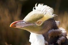 Zeldzame geel-Eyed Pinguïn Royalty-vrije Stock Foto