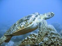 Zeldzame groene overzeese schildpad Stock Foto