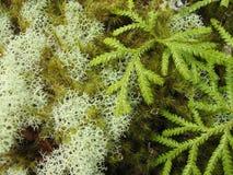 Zeldzame mossen in Nieuw Zeeland Royalty-vrije Stock Afbeeldingen