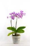 Zeldzame orchidee met pot Stock Afbeeldingen