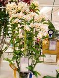 Zeldzame orchild in de orchideeën 2014 van toonbeeldbangkok Stock Foto's