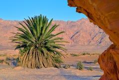 Zeldzame plam in woestijn van Negev, Israël Royalty-vrije Stock Afbeeldingen