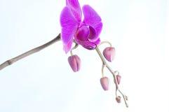 Zeldzame purpere die orchidee met knoppen op witte achtergrond worden geïsoleerd Royalty-vrije Stock Afbeeldingen